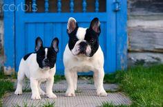.french bulldogs