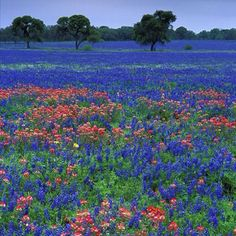 Bluebonnets and Indian Paint Brushes in Texas :)