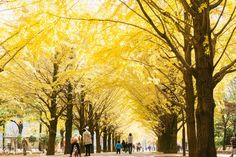 Tokyo has numbers of spots to enjoy autumn leaves including beautiful ginkgo avenues where ginkgo trees turn into golden yellow. Here are 5 best spots to see ginkgo trees in the Tokyo during autumn! Harajuku Station, Tokyo With Kids, Tokyo Map, Yoyogi Park, Tokyo Station, Imperial Palace, Memorial Park, Scenery Wallpaper, Amazing Flowers