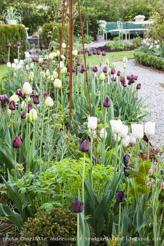 Trädgårdsflow: Tulpaner