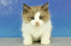 Mocha Swirl - Chocolate Bicolor Sepia Female Ragdoll Kitten