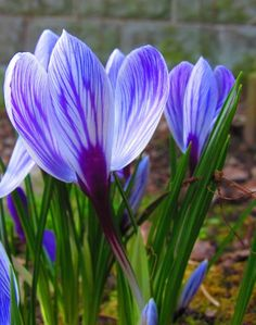 Beautiful crocus- First flower that pushes through the snow in Connecticut!!