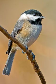 Carolina Chickadee - Brian E Kushner - Slightly smaller than its northern cousin the Black Capped Chickadee #backyardbirds #birdwatchingtips