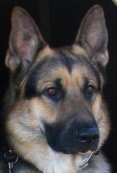 German Shepherd eyes are the best.