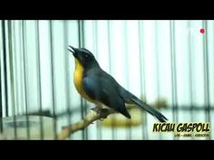 Masteran Tledekan Gunung Gacor Full Tembakan - YouTube Pets, Animals, Animals And Pets, Animales, Animaux, Animal, Animais