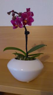 an orchid i got as a present. have no idea which precise type of orchid it is.