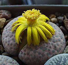 Lithops fulviceps v. lactinea (Living Stones)