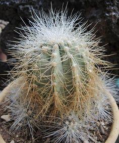 Copiapoa Krainziana Scopulina Cactus -