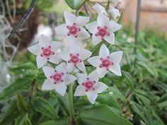 Before bloom & once bloomed  hoya bella - Shooting Star
