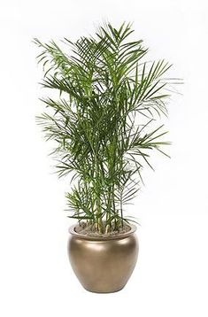 Houseplants safe for cats: Bamboo palm