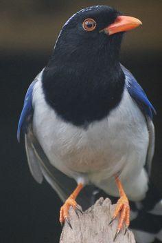 Red-billed Blue Magpie (Urocissa erythrorhyncha) | by writhedhornbill