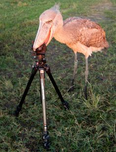 University student Morgan Trimble photographed this shoebill trying to eat her camera tripod after being released into the wild. The bird had been hand-reared in captivity by conservationists since it was rescued from poachers as a chick. Picture: MorganTrimble/BNPS