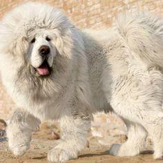 White Tibetan Mastiff Check more at http://hrenoten.com