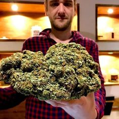 Purple Kush a Potent Indica Strain - Denver Flavours Indica Strains, Weed Strains, Cannabis Seeds For Sale, Cannabis Shop, Buy Cannabis Online