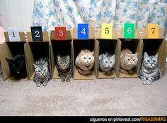 Por esto no se hacen carreras de gatos.