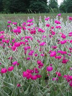 Lychnis Atrosanguinea (rose campion).   Planted in front yard in front of rock garden