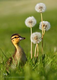 Country Living ~ Wild duckling with dandelions by Miroslav Hlavko