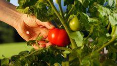 10. Pick Ripe http://www.rodalesorganiclife.com/garden/secrets-growing-plump-tomatoes/slide/10