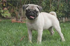 A pug a day everyday forever  #pugdaily #pugs #pug #cute #puglover
