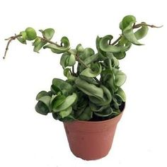TIP: Do not touch or move the Hoya plant during its blooming period Hoya Plant known as Hindu rope plant or wax plant, Hoya plants have been enjoyed for decades, as an easy going houseplant [LEARN MORE] Cascading Flowers, Wax Flowers, Patio Plants, Indoor Plants, Indoor Garden, Hindu Rope Plant, Deer Resistant Perennials, Long Blooming Perennials, Flowering Succulents