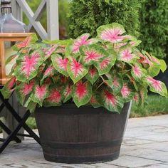 Caladium Garden, Calathea Plant, Container Flowers, Container Plants, Container Gardening, Growing Flowers, Planting Flowers, Barrel Flowers, Window Box Flowers
