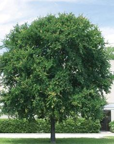 Best shade trees for DFW: Cedar Elm. Maybe true but not as pretty as live oak or red oak
