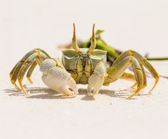 Ghost Crab Seychelles by Samoht Ekpil on Les Seychelles, Yearning, Animal Kingdom, Night Life, Beautiful Places, Around The Worlds, Creatures, Nature, Animals