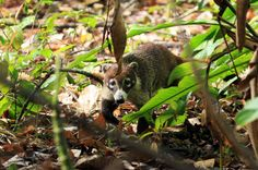 carara national park coati   - Costa Rica