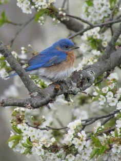 Eastern Bluebird in Spring Blossoms, United States Pretty Birds, Love Birds, Beautiful Birds, Image Nature, Little Birds, Nature Animals, Wild Birds, Bird Watching, Bird Feathers