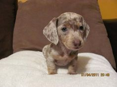 Isabella Dachshunds FOR SALE ADOPTION