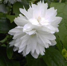 Philadelphus  Minnesota Snowflake  - Gartenjasmin - Pfeifenstrauch -  40-60