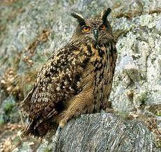 osCurve Aves: Aves rapaces diurnas de Colombia - El segundo subgrupo