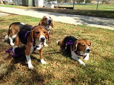 Meet Santi of the #Beagle Freedom Project and his siblings  -- Life with Beagle's Beagle of the Week!