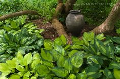 hostas in a shady garden...I need to remember these for our north wall