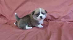 Wobbly month-old corgi puppy