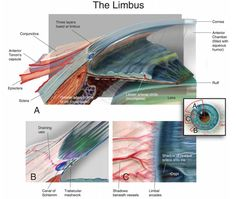 The anatomical limbus contains the drainage angle, wherein resides the watery aqueous humor produced in the ciliary body and filling the anterior chamber just behind (and nourishing) the cornea.
