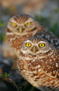 Burrowing Owl, pair, Cape Coral, FL  Image copyright 2005 Arthur Morris/BIRDS AS ART