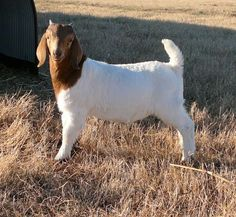 """A Previous Pinner: """"This site by Jack and Anita Mauldin is very informative and a great source for management, health, industry of the Boer goat."""" I just thought goat was cute. Farm Animals, Animals And Pets, Himalayan Kitten, Show Goats, Goat Care, Boer Goats, Raising Goats, Teacup Pigs, Showing Livestock"""