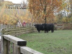 Respect for the heritage cattle Bede's World Oct 2015