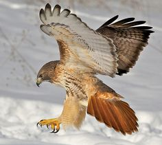 A Red-tailed hawk -  Flickr