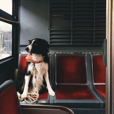 border collie / So much trouble ensues when a dog is let onto public transit.