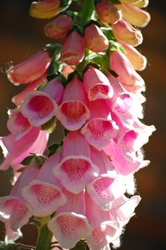 Foxglove. Flowers and pinks make my heart go pitter-pat. I am grateful for beauty.