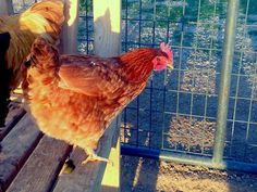 What are the best egg laying chickens? Which breeds should you consider when choosing your flock? Learn which chickens are going to lay the most and get your flock started on the right foot!