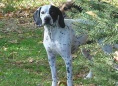 FRECKLES is an adoptable German Shorthaired Pointer Dog in Waterford, MI. Posted 07/17/2013 This is Freckles . He is about 5 yrs. of age and weighs about 50 lbs. He is housebroken, neutered and up to ...