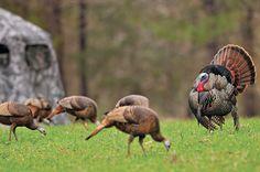 Aggressive Turkey Calling Tactics for 6 Hunting Scenarios Bow Hunting Deer, Quail Hunting, Turkey Hunting, Archery Hunting, Hunting Stuff, Coyote Hunting, Pheasant Hunting, Turkey Pics, Best Turkey