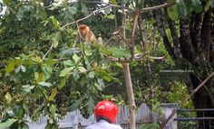 Photo 185   BEKANTAN -WILD INDONESIA