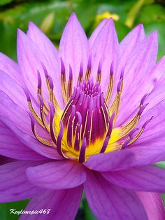 Purple Water-Lily [Nymphaea; Family: Nymphaeaceae]; by keylime_pie