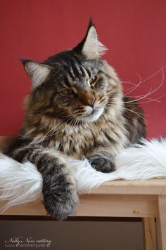 Maine Coon, black tabby blotched (n 22). Beau Beniamino Nelly Ness*CZ