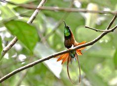 Foto beija-flor-brilho-de-fogo (Topaza pella) por Oscar Abener Fenalti | Wiki Aves - A Enciclopédia das Aves do Brasil
