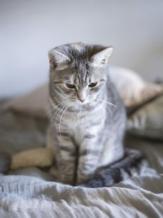 I want a grey kitty Kitten Love, I Love Cats, Cute Cats And Kittens, Kittens Cutest, Crazy Cat Lady, Crazy Cats, Photo Chat, Cat Boarding, Cat Photography
